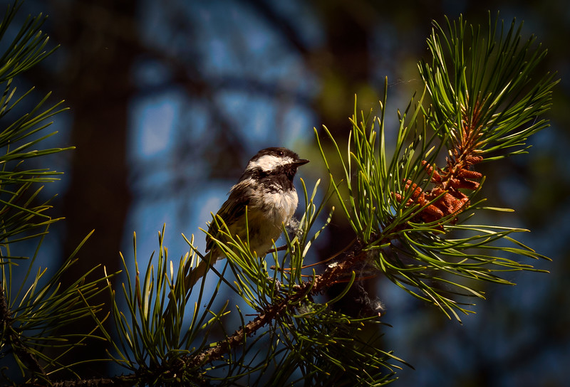 Chickadee In Pine