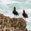 Black Oystercatcher,
