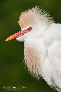 Western Cattle Egret (Bubulcus ibis)
