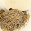 It's Nesting Season For Barn Swallows