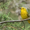 Male Yellow Warbler With Bugs