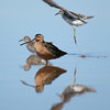 Long-billed Dowitcher portrait
