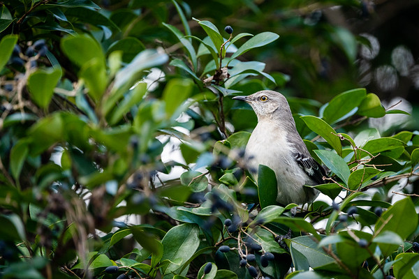 Northern Mockingbird in My Backyard