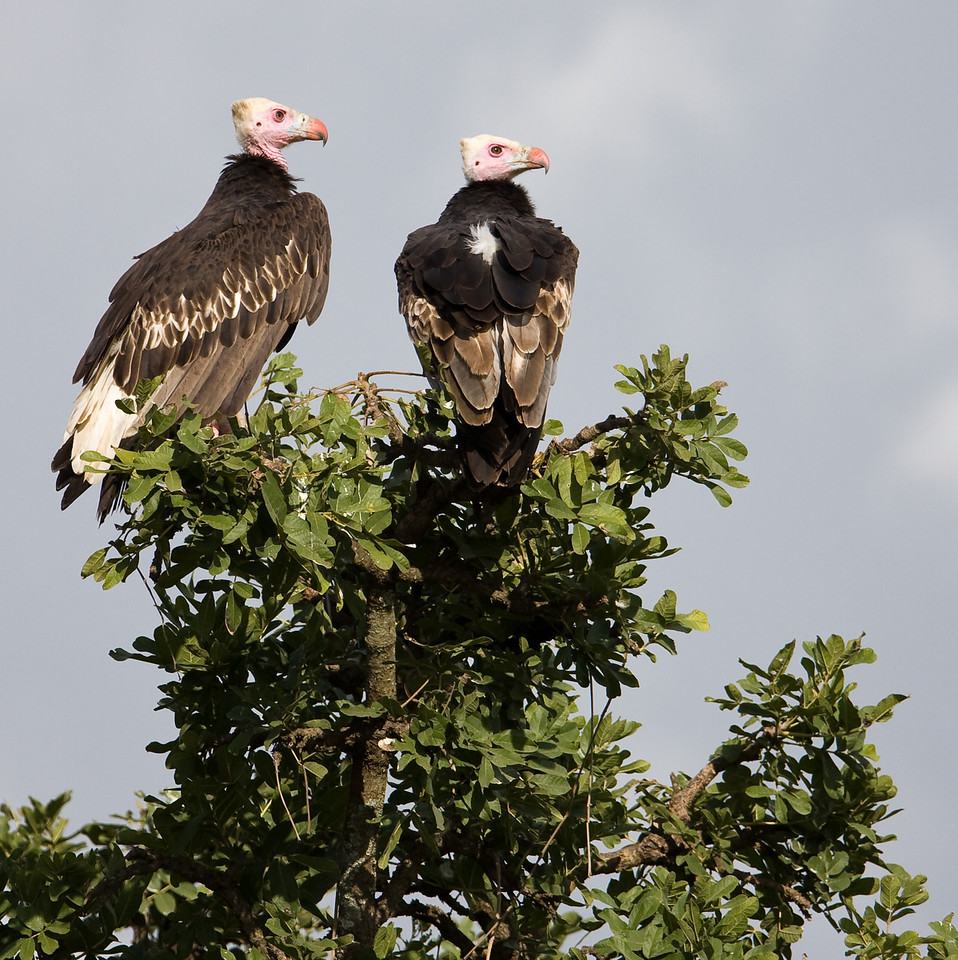 White-Headed Vultures (Trigonoceps occipitalis).