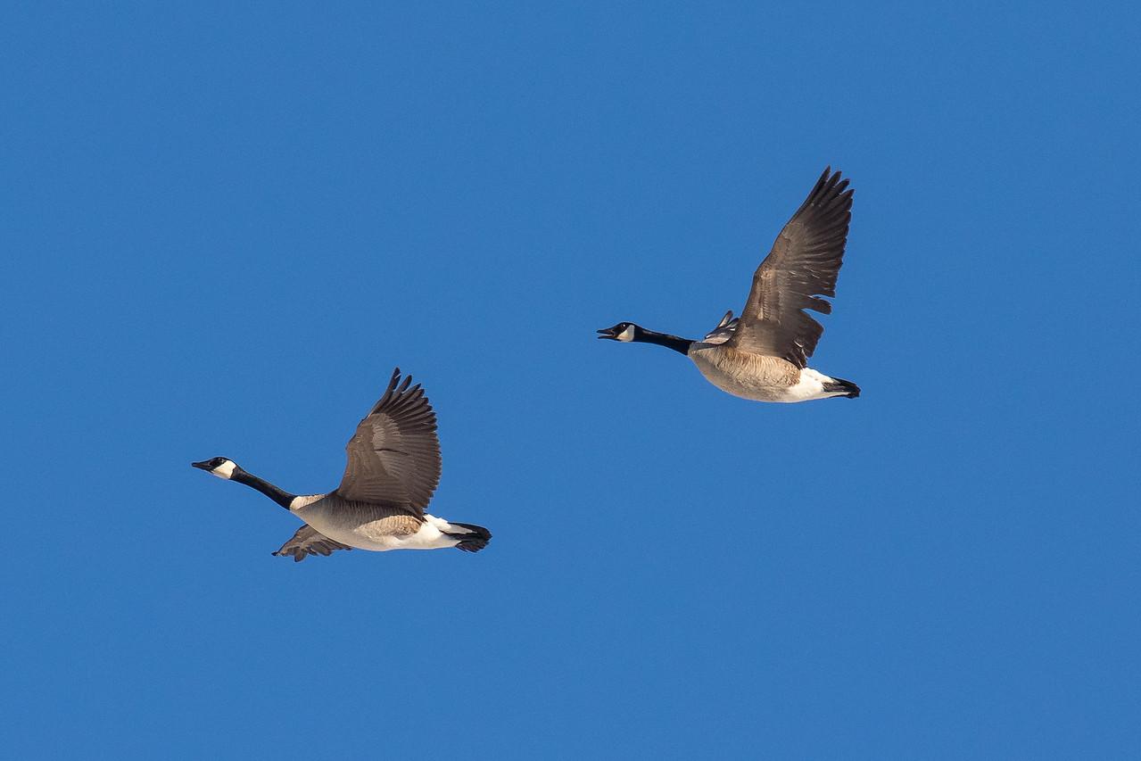 IMAGE: https://photos.smugmug.com/Birds/i-NnZWXjc/0/5572c67e/X2/122A9997-X2.jpg