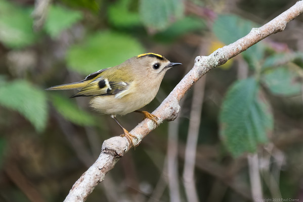 Goldcrest at Woolhampton 4 - 11th November2019