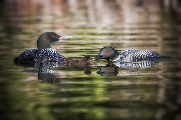 Loons, Male, Female feeding baby