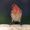House Finch Personality