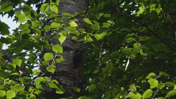 Pilated Woodpecker Jr. Sure is Noisy Neighbor!