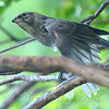 Baby Cowbird Stretches Out A Wing