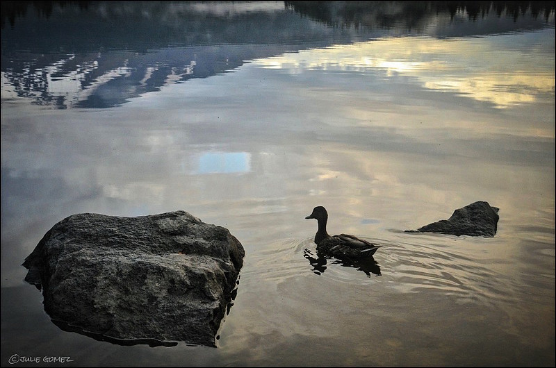 Mallard Reflections