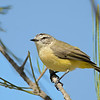 Yellow-rumped Thornbill, Federation Walk, Gold Coast, Queensland.