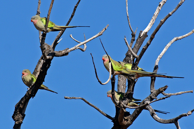 Princess Parrots