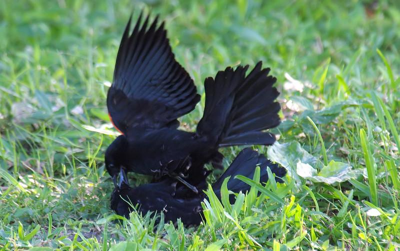 Red-winged Blackbird Death Match 24