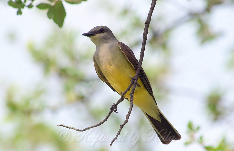 Papa Kingbird Stands Guard