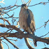 Hawk In My Pecan Tree