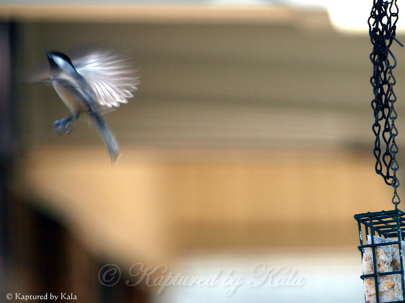 Carolina Chickadee Leaving the Suet