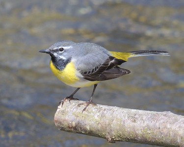 Grey Wagtail Hungerford 11-04-2017