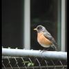 American Robin—Turdus migratorius