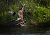 Eagle With Salmon Head.