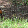 There are more American robins in our woods this year.  They are such a welcomed sight!  Here a male hunts for earthworms at the edge of a trail.  <br /> <br /> Milo McIver State Park, Oregon.  (2013)