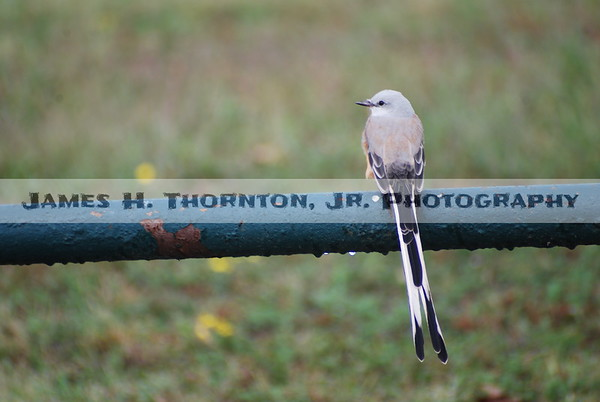 Scissor-Tailed Flycatcher and  Rain Drops