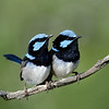 Superb Blue Fairy Wrens, Main Beach, Qld.