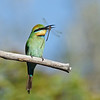 Rainbow Bee-eater with a Dragonfly, The Spit, Qld.