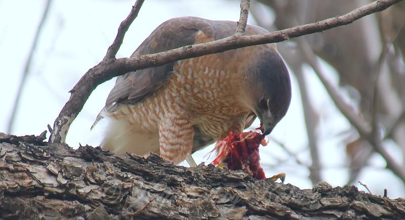 Mama Cooper's Hawk Enjoying Her Gift View 6