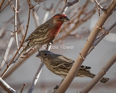 Red Finch Family