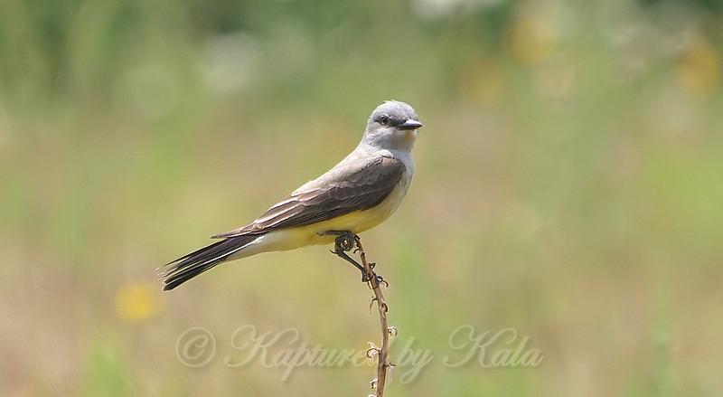 Sneaking Up On A Western Kingbird