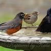 Robin Attacks From The Rear