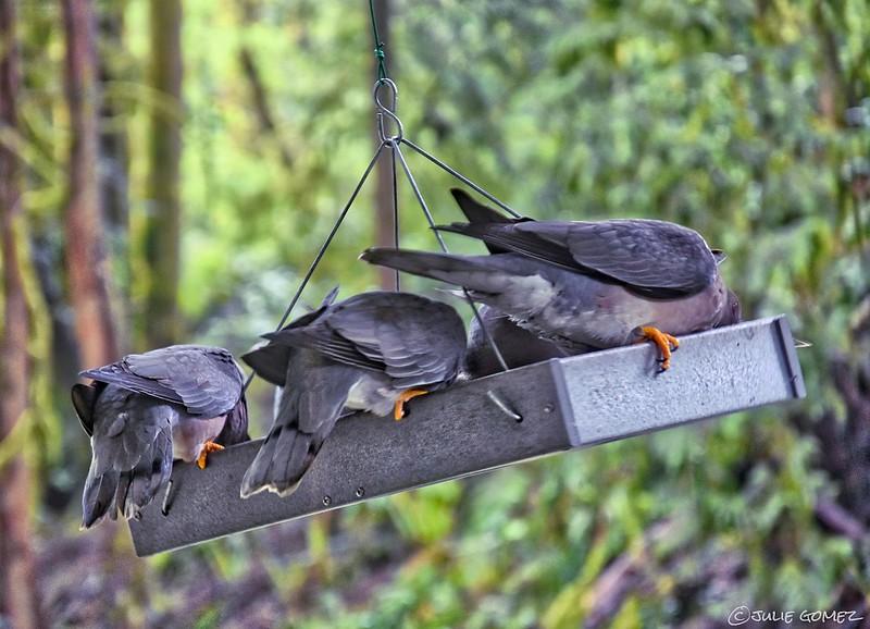 Band-Tailed Pigeons—Patagioenas fasciata