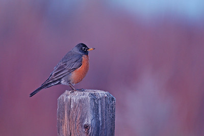Plump Robin on a Post