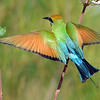 Rainbow Bee Eater.<br /> Gold Coast Spit,<br /> Queensland.