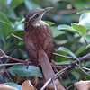Carolina Wren Close Up