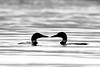 Common Loon Pair #1