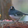 Fat Little Junco