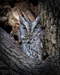 Screech Owl-01