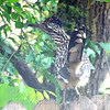 Greater Roadrunner With Raised Tail