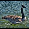 Curious Goose—Canada Goose