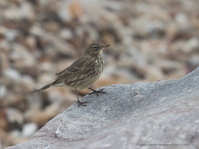 Rock Pipit at Charmouth 3