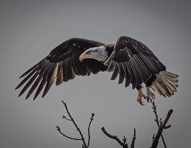 "Bald Eagle ""MK"" hunched take off"