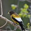 A Male Evening Grosbeak