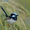Superb Blue Fairy-wren, Narrowneck, Gold Coast.Qld.