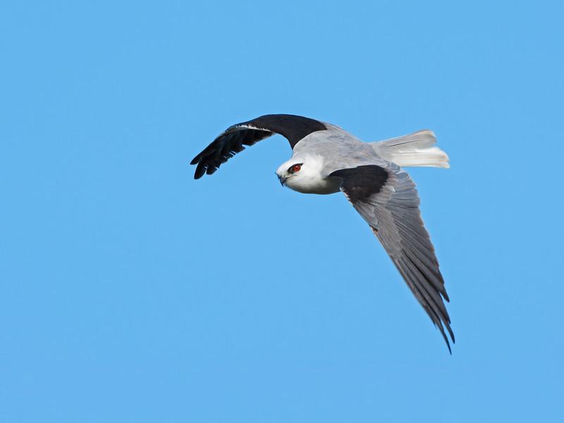 Black-shouldered Kite, Federation Walk Coastal Reserve