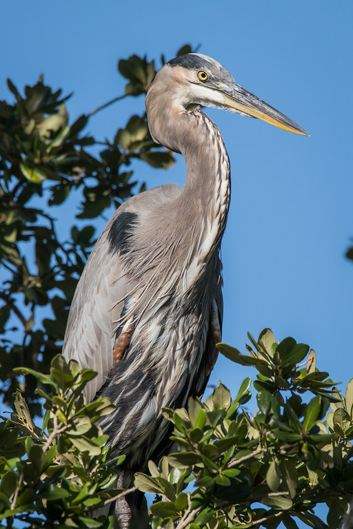 IMAGE: https://photos.smugmug.com/Birds/i-Pf8L4XG/0/XL/GBH%2010102016-819-XL.jpg