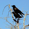 Two crows in a tree