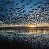 Snow Geese taking flight at sunrise