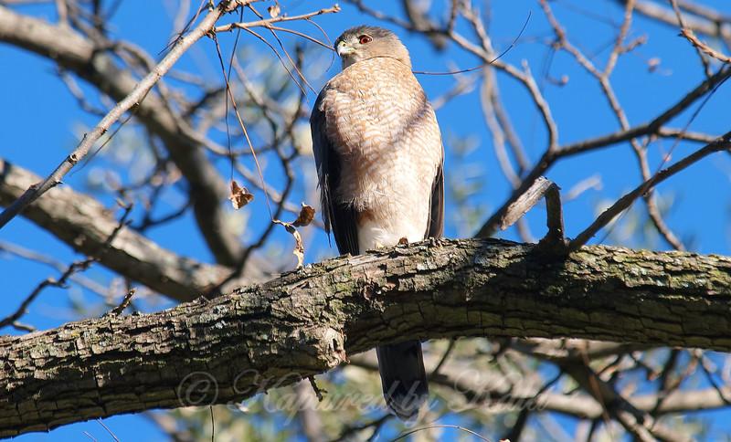 Hawk In My Pecan Tree